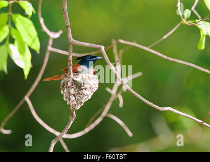 The image of Asian Paradise Flycatcher ( Terpsiphone paradisi ) was taken in Tadoba national park, India - Stock Photo