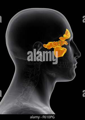 medically accurate illustration of the sinuses - Stock Photo