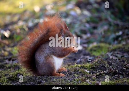 Eurasian red squirrel (Sciurus vulgaris), adult eating, Baden-Württemberg, Germany - Stock Photo