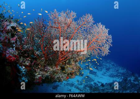 Indian Ocean, Maldives. 26th Sep, 2015. soft cora (Siphonogorgia sp.) Indian Ocean, Maldives © Andrey Nekrasov/ZUMA - Stock Photo