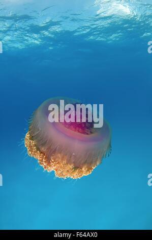Sept. 28, 2015 - Cauliflower jellyfish (Cephea cephea) Indian Ocean, Maldives © Andrey Nekrasov/ZUMA Wire/ZUMAPRESS.com/Alamy - Stock Photo