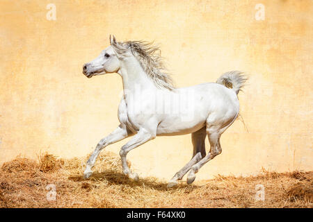 Arab Horse, Arabian Horse. Gray stallion galloping in a paddock. Egypt - Stock Photo
