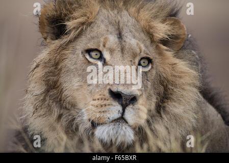 Male lion portrait in Moremi National Park, Botswana - Stock Photo