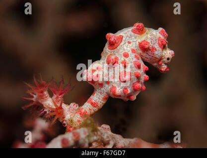 Bargibant's Pygmy Seahorse (Hippocampus bargibanti) attached to Gorgonian fan Coral. Bali, Indonesia. - Stock Photo