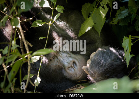 Sivlerback gorilla is relaxing in the bush of the jungle in the rainforest of the mountains in Uganda Africa. - Stock Photo