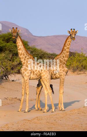 Giraffes in the Kaokoveld, Namibia, Africa - Stock Photo