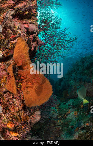 Sea Fans on Coral Reef, Muricea californica, La Paz, Baja California Sur, Mexico - Stock Photo