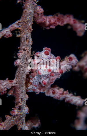 A pygmy seahorse (Hippocampus bargibanti) mimics its host gorgonian on a reef in Lembeh Strait, Indonesia. This - Stock Photo