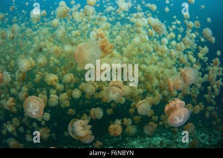 Golden jellyfish (Mastigias papua etpisonii) swim inside a marine lake in the Republic of Palau. These endemic jellies - Stock Photo
