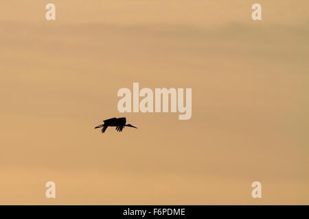 Black Stork (Ciconia nigra) flying at dusk. Israel. - Stock Photo