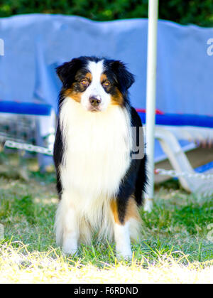 A young, healthy, beautiful, black, white and red Australian Shepherd dog standing on the grass looking very calm - Stock Photo