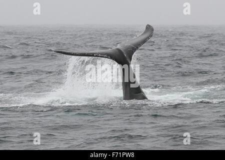 Humpback Whale off the Farallon Islands - Stock Photo