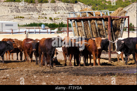 Detail of several bulls on a farm - Stock Photo