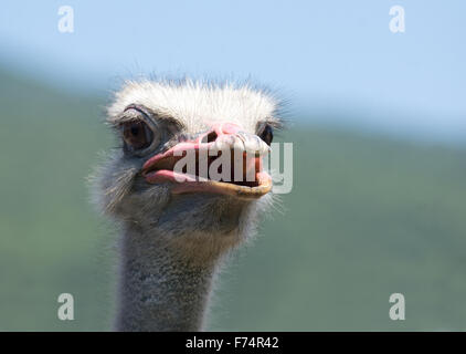 Ostrich head shooted in a ostrich farm - Stock Photo