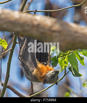 Australian grey-headed fruit bat / flying fox, Pteropus poliocephalus, wings open, hanging in tree against blue - Stock Photo