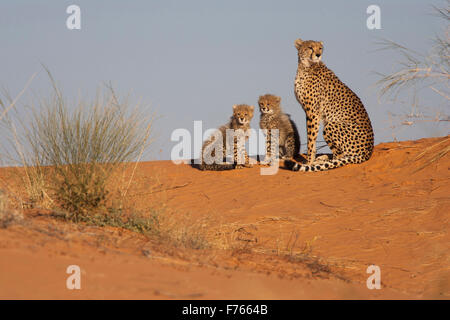 Female cheetah with her cubs on a sand dune in the Kgalagadi Transfrontier Park - Stock Photo