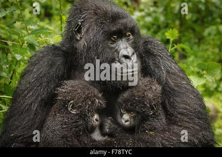 Close Up Mountain Gorilla (Gorilla beringei beringei) Twin Babies - Stock Photo