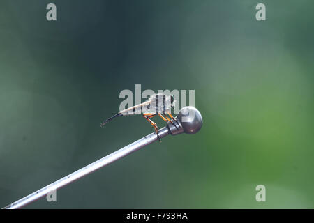 The Asilidae are the robber fly family, also called assassin flies. They are powerfully built, bristly flies with - Stock Photo