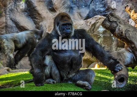 Majestic gorilla in the zoo - Stock Photo