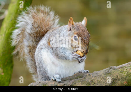 Grey Squirrel (Sciurus Carolinensis) eating a nut on the branch of a tree. - Stock Photo
