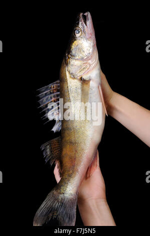 Raw fish pike perch in hands on a black background - Stock Photo