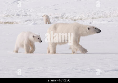 A Polar Bear Family (Ursus Maritimus), Mother and Cubs on the sea ice at Sallyhamna, Svalbard - Stock Photo