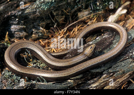 Slow worm / slow-worm / slowworm (Anguis fragilis) limbless reptile native to Eurasia basking on the forest floor - Stock Photo