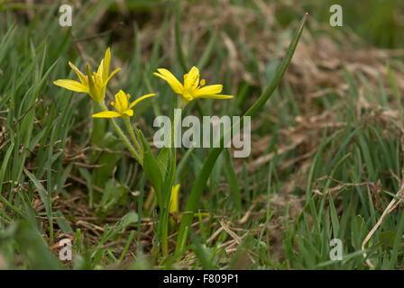 A yellow star-of-Bethlehem, Gagea liotardii, in flower, in high alpine pasture. - Stock Photo