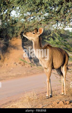 Female Greater kudu (Tragelaphus strepsiceros) - Okonjima Nature Reserve, Namibia, Africa - Stock Photo