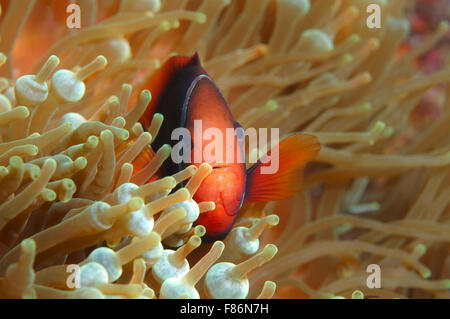 Cinnamon clownfish, red and black anemonefish, black-backed anemonefish or dusky anemonefish (Amphiprion melanopus) - Stock Photo