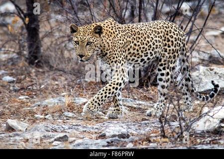 Leopard (Panthera pardus) [WILD] - Etosha National Park, Namibia, Africa - Stock Photo
