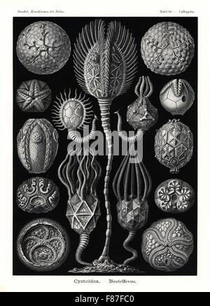 Cystoidea or cystoids, extinct fossil echinoderms: Staurocystis quadrifasciata 1, Glyptosphaerites leuchtenbergi - Stock Photo