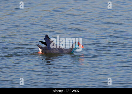 Purple Swamp-hen swimming in winter in Portugal - Stock Photo