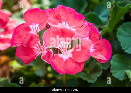 Pink Hibiscus flower (rosa-sinensis) - Stock Photo
