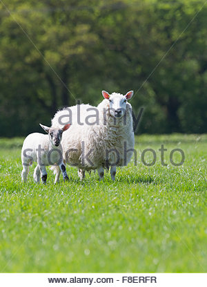 Portrait sheep and lamb in sunny green spring field - Stock Photo