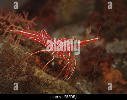 Durban Hinge-beak Shrimp, Rhynchocinetes durbanensis, on coral reef in Tulamben, Bali, Indonesia - Stock Photo