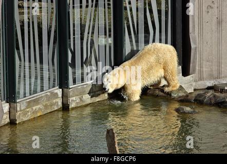 Polar bear in the Zoo (Tiergarden) of Schonbrunn palace, Vienna, Austria. - Stock Photo