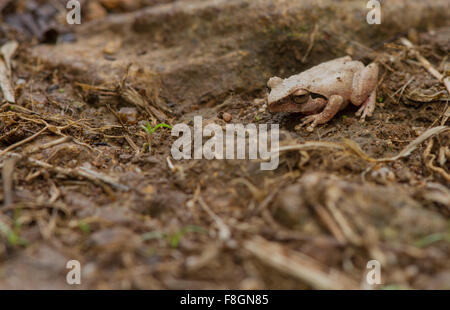 Small frog with golden eye - Stock Photo
