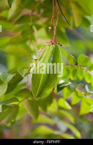 Carambola, AKA starfruit (Averrhoa carambola) on tree - Stock Photo
