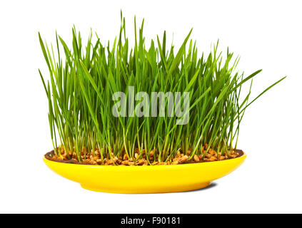 Grass of wheat grown in yellow plate. Isolated over white - Stock Photo