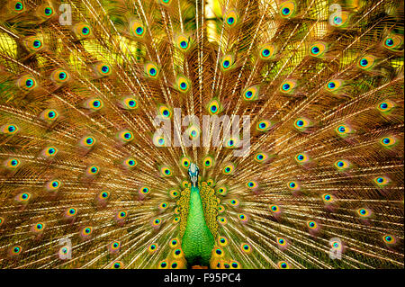 peacock, Pava spp., Charin Garden Resort, Chiang Rai Province, Thailand - Stock Photo