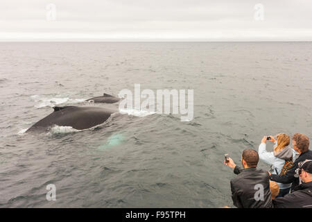 Mother and calf Humpback Whales, (Megaptera novaeangliae), and whale watchers, Witless Bay Ecological Reserve, Newfoundland, - Stock Photo