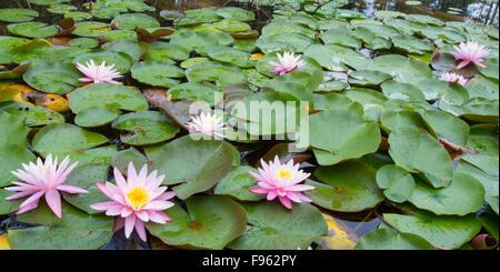 Pink Water Lilies on Hotel Lake, Sunshine Coast, British Columbia, Canada - Stock Photo