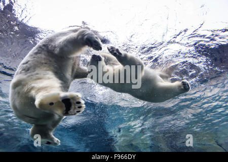 Polar Bears swimming underwater at the Journey to Churchill, Assiniboine Park Zoo, Winnipeg, Manitoba, Canada - Stock Photo