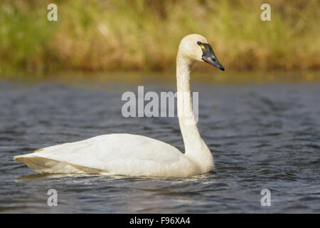 Tundra Swan (Cygnus columbianus) in a pond near Nome, Alaska. - Stock Photo