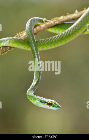 Parrot Snake perched on a branch in Costa Rica, Central America. - Stock Photo