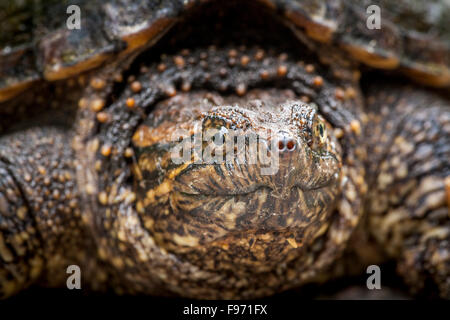 Juvenile, Snapping Turtle (Chelydra serpentina), Bon Echo Provincial Park, Ontario - Stock Photo