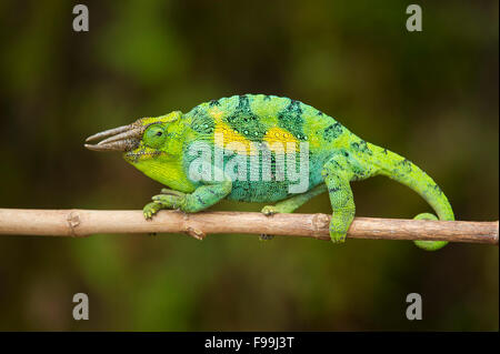 Rwenzori three-horned chameleon, Chamaeleo johnstoni, Bwindi Impenetrable National Park, Uganda - Stock Photo