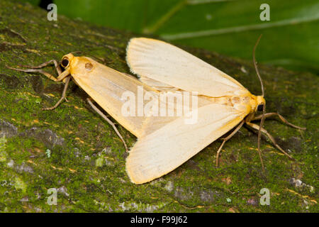 Buff Footman (Eilema depressa) adult moths mating. Powys, Wales. August. - Stock Photo