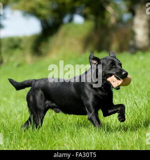 black labrador retriever, playing with dummy - Stock Photo